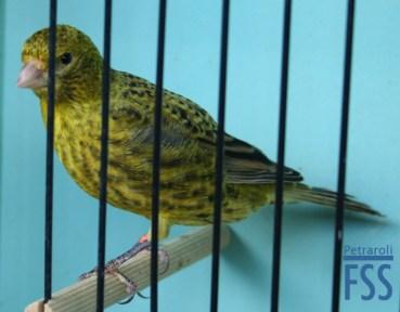 Best non cap gold cock Lizard canary-Giorgio Massarutto