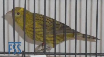 Broken cap gold hen Lizard canary from Alfonso Fernandez