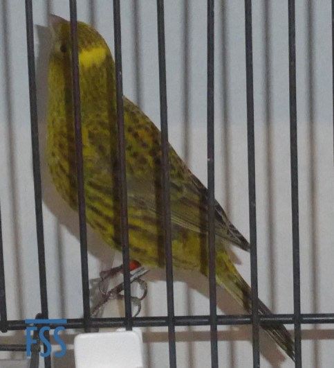 Broken cap gold hen Lizard canary from Jules Etienne