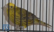 Clear cap gold hen Lizard canary from Alfonso Fernandez