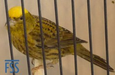 Clear cap gold hen Lizard canary from Jose Cossio.