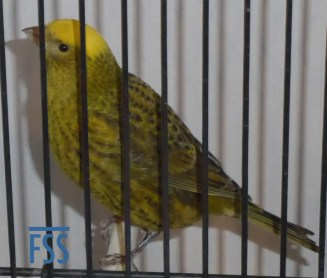 Clear cap gopld hen Lizard canary from Jules Etienne, Individual silver medal.