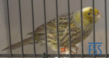 Clear cap silver hen Lizard canary from David Espinel