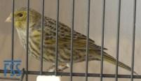 Non cap silver hen Lizard canary from Stefan Sonntag