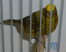 Clear cap gold hen (Kees Everares)
