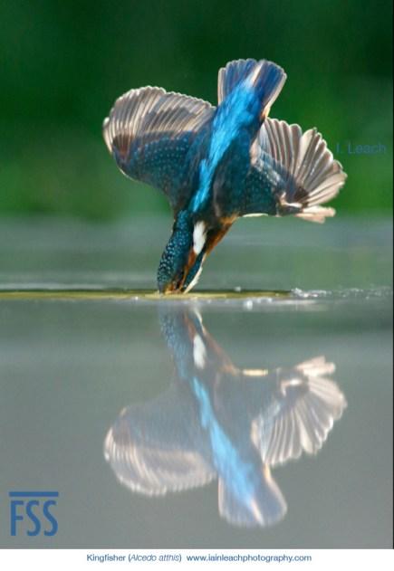 Iain Leach kingfisher dive-FSS