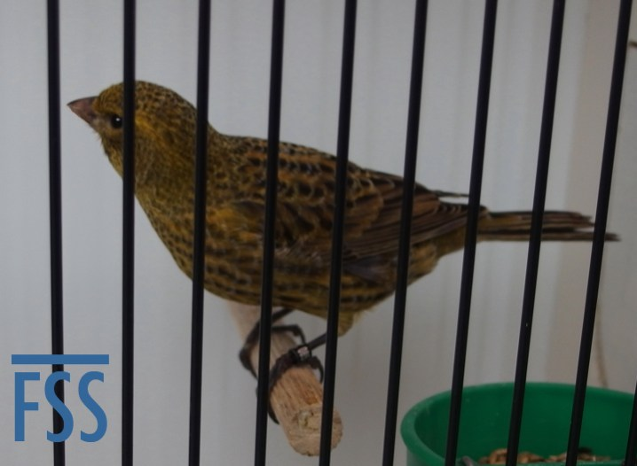 Non cap gold Lizard canary