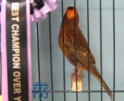 Best Champion over-year Lizard canary by Daniel Richmond