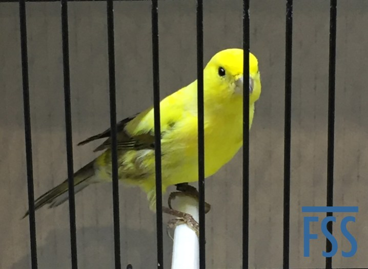 World Show 2020 London Fancy canary