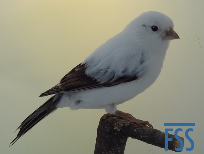 White London Fancy canary Piet Renders