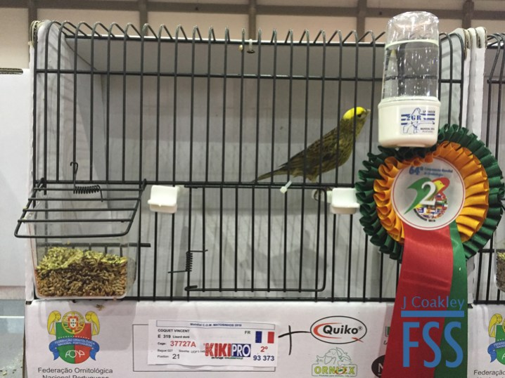 Vincent Coquet clear cap gold hen Lizard canary