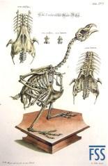Johann Daniel Meyer capercaillie skeleton