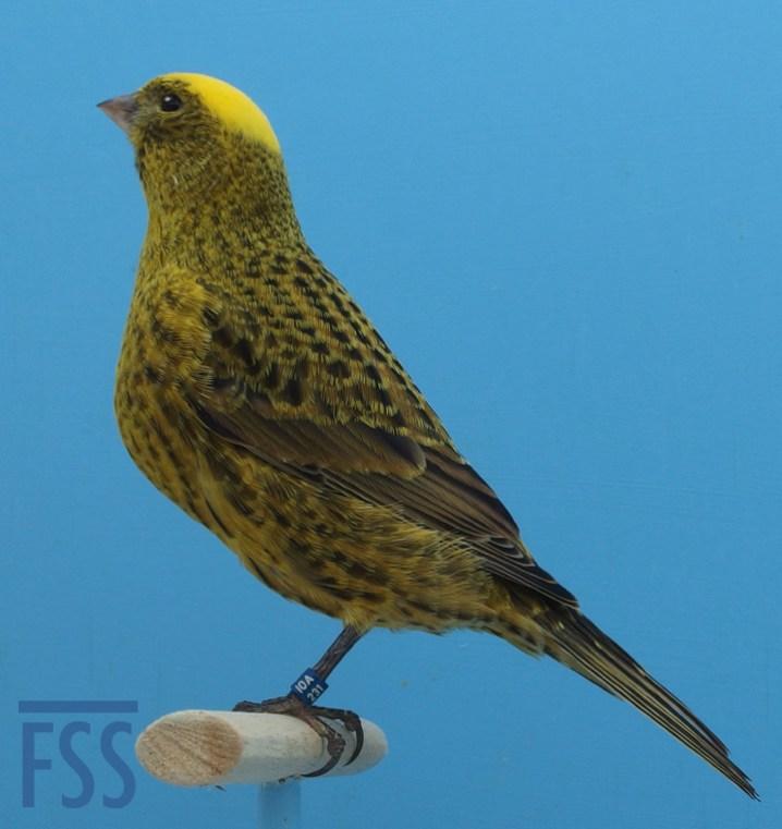 Clear cap Lizard canary