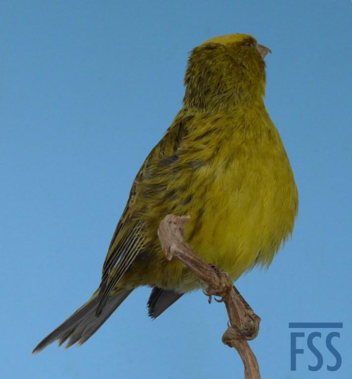 Lizard canary taxidermy