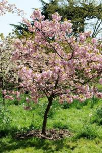 Plum wine blossom from trees