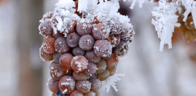 Frozen grapes ice wine