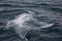 Whale Baleen-4