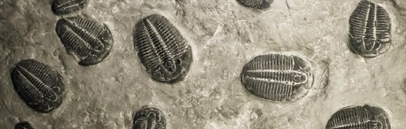 삼엽충 화석 기록 - 완전한 형태