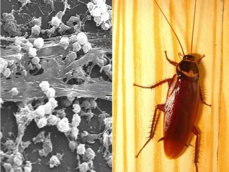 포도상구균과 바퀴벌레