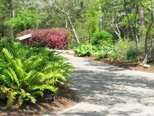 Asiatic Holly Fern (Cyrtomium falcatum) along the path