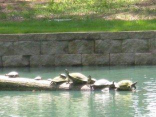Turtles enjoying the sun