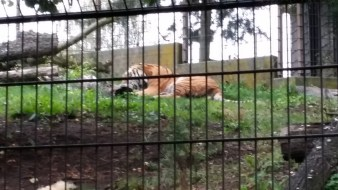 This tiger was munching on his breakfast