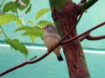 Female zebra finch