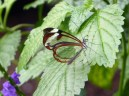 We thought the most interesting butterfly was the glasswing Greta oto