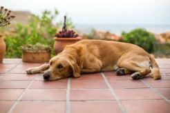 dog pain