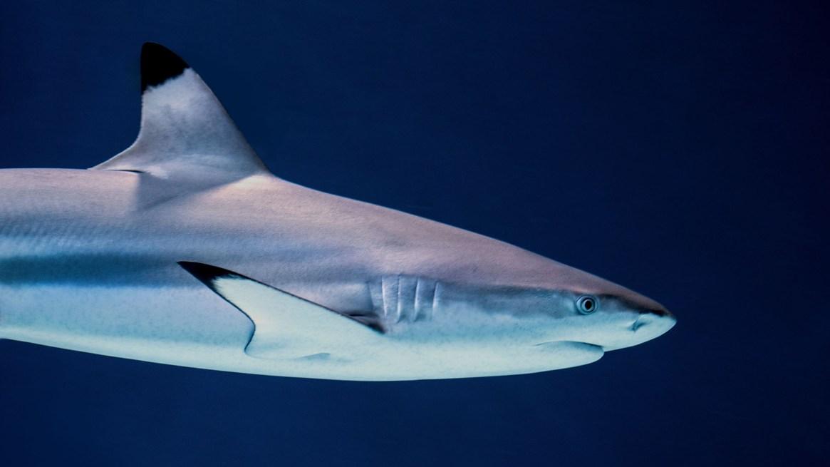 how to catch Blacktip Shark