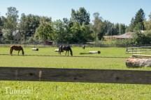 Die Pferde sind der natürlich Rasenmäher für den Parcours.