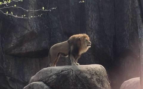 Los leones rugiendo suenan como una moto ahogada que no arranca