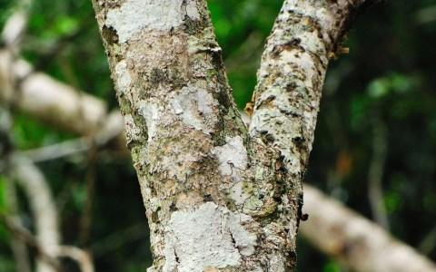 El espectacular camuflaje del Gecko cola de hoja Mossy (Uroplatus sikorae)