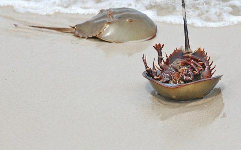 Los cangrejos de herradura son en realidad arácnidos