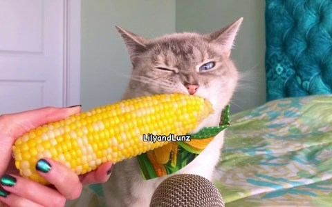 ASMR: Gato comiendo una mazorca