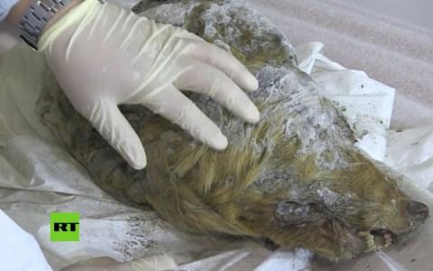 Lo que vas a ver a continuación es la cabeza de un lobo que murió congelado hace 40000 años