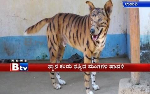Granjero pinta a su perro como un tigre para espantar a una plaga de monos