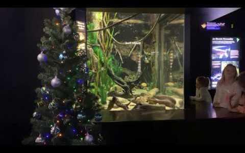 Una anguila eléctrica es la encargada de dar energía al árbol de Navidad de un acuario en Tennessee
