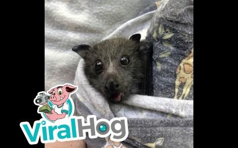 Una cría de murciélago comiendo uvas y otras frutas