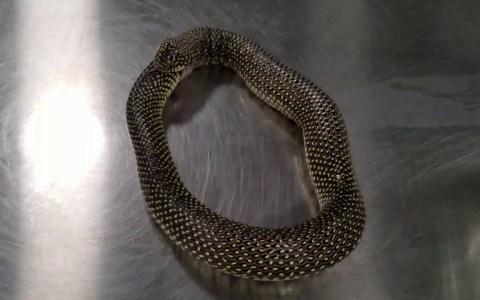 Una serpiente se vomita a sí misma después de haberse comido casi entera