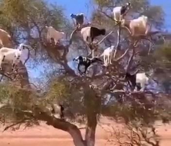 Y así nacen las cabras