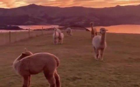 Alpacas bajo una preciosa puesta de sol en Nueva Zelanda