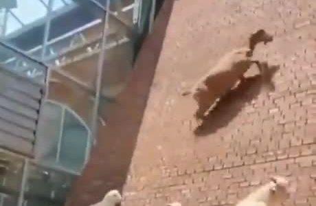 Las cabras y su costumbre de violar las leyes de la física...