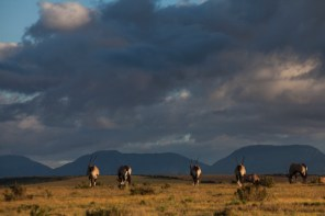 gemsbok with langeberg mountains