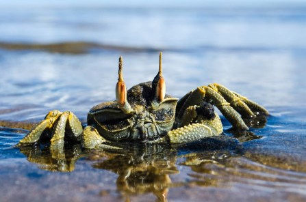 Horn Eyed Crab at the estuary. Credit: Kyra Kalageorgi