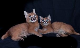 caracal kittens 9 weeks-7