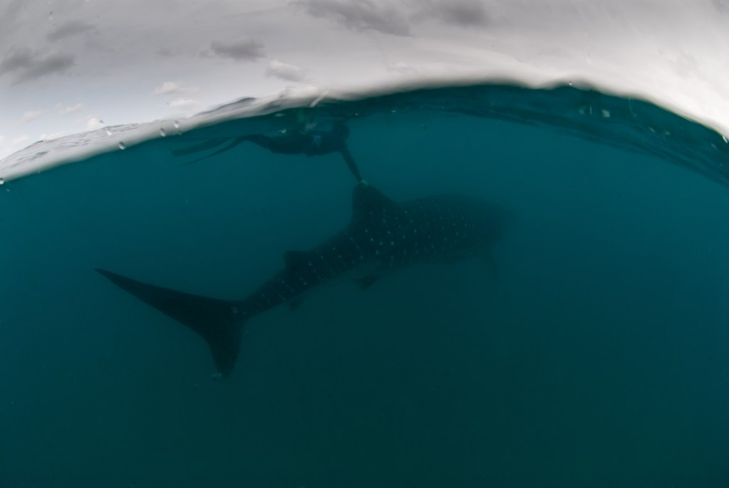 Whale-Sharks-SC-445.jpg