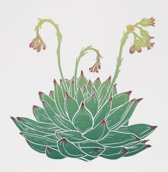 Flowering Echeveria 'Miranda'. Original woodcut relief print by Fiona Parrott ©2019