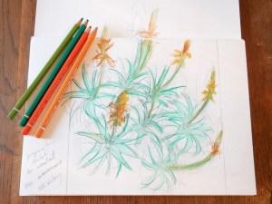 Sketch of Aloe arborescens. Fiona Parrott printmaker. Fiona Parrot prints