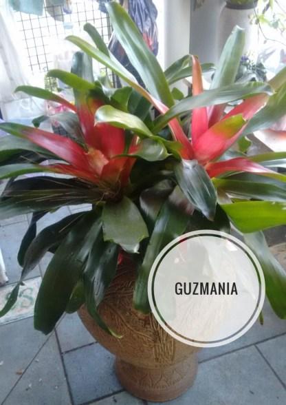 Guzmania